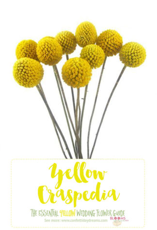 Types of Yellow Flowers - Yellow Craspedia