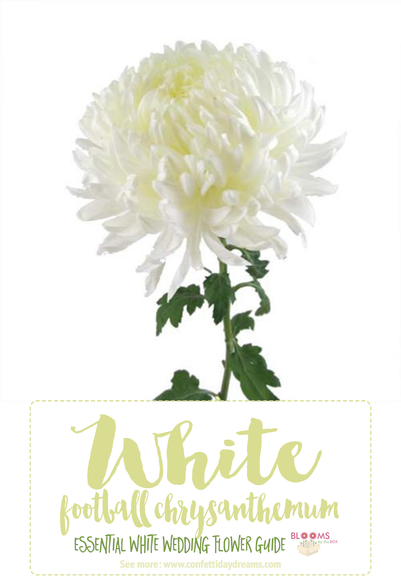 Types of white flowers football chrysanthemum types of white flowers football chrysanthemum mightylinksfo