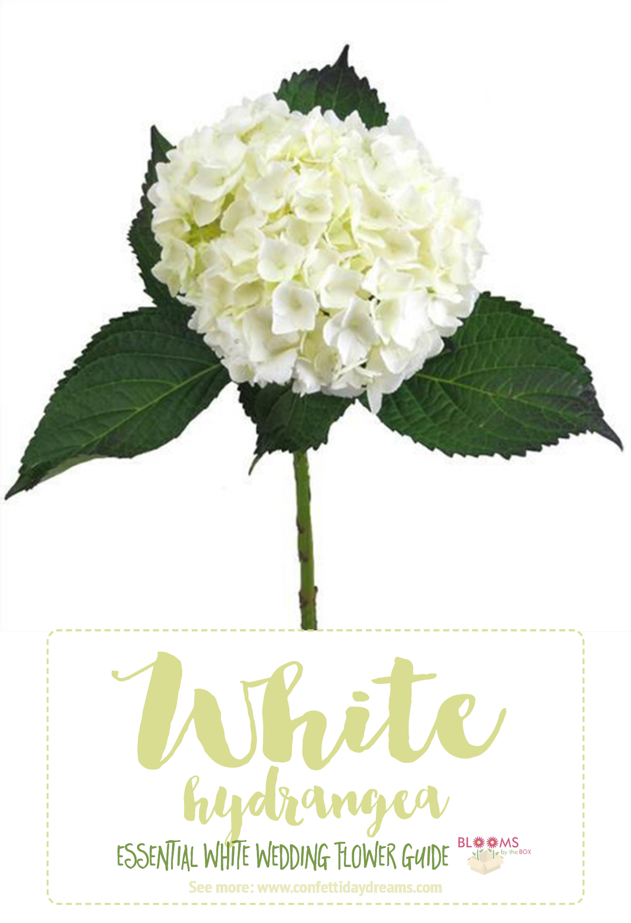 Types Of White Flowers Hydrangea